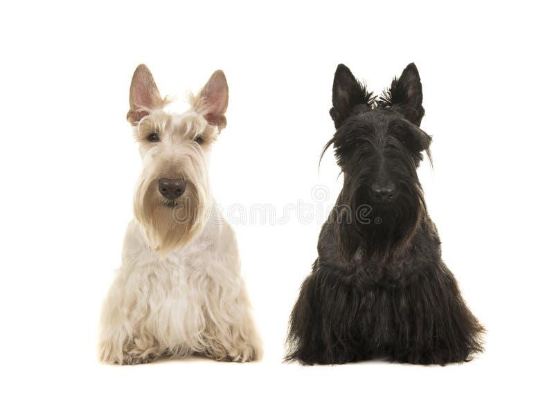 Chien écossais noir et blanc de terreir se reposant l'un à côté de l'autre image libre de droits