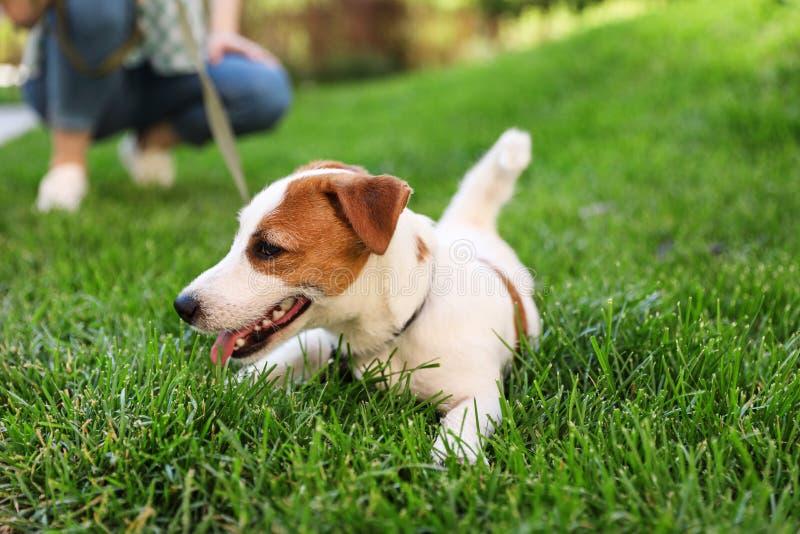 Chien adorable de Jack Russell Terrier sur l'herbe dehors image libre de droits