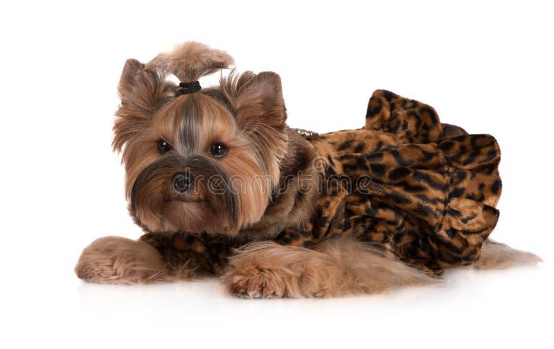 Chien adorable de terrier de Yorkshire dans des vêtements photo stock