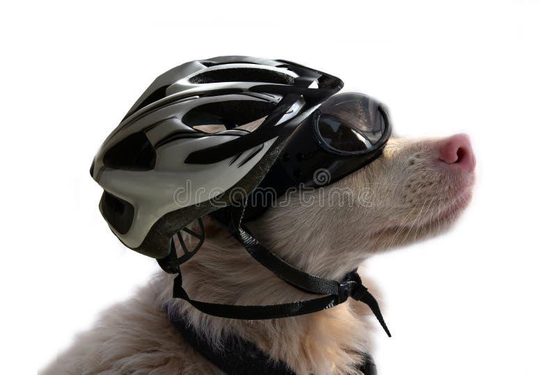 Chien albinos avec les lunettes de soleil et le casque de vélo images libres de droits