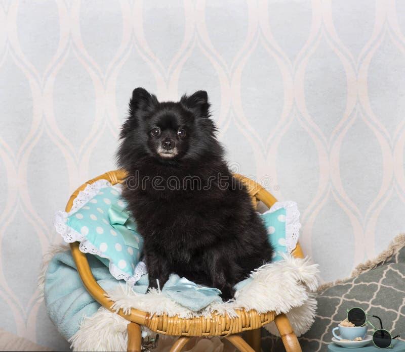 Chien allemand noir de Spitz se reposant sur la chaise dans le studio, portrait image stock