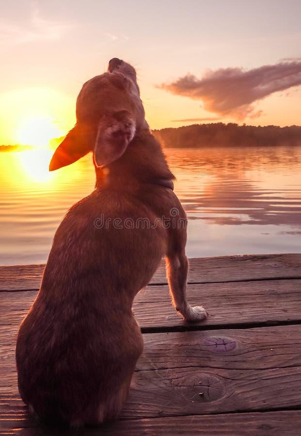 Chien au lac dans le coucher du soleil Le chiwawa au coucher du soleil regarde le soleil sur la rivière image libre de droits