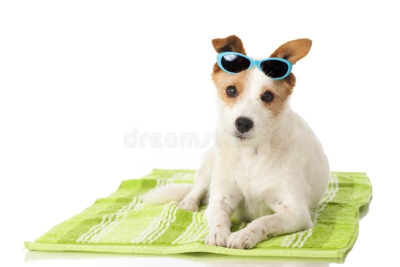 Chien avec des lunettes de soleil photo stock