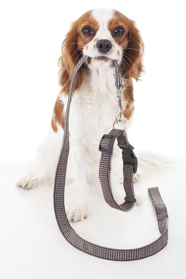 Chien avec la laisse en cuir attendant pour aller walkies Laisse de marche avec le collier Chien mignon tenant le collier et la l photo stock