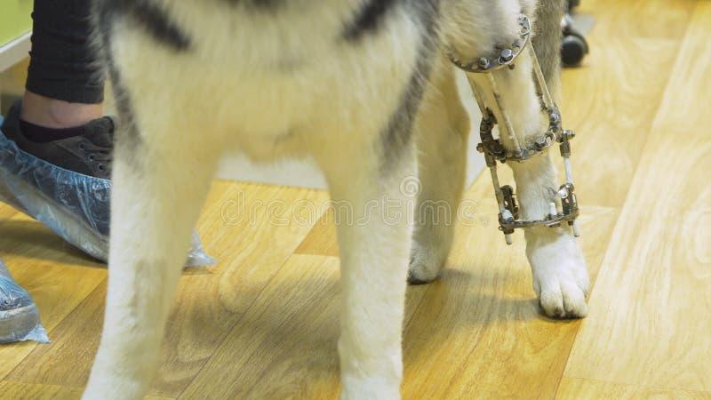 Chien avec une patte cassée dans une clinique vétérinaire photo libre de droits