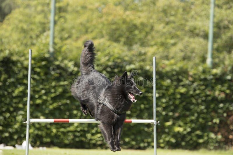 Chien, berger belge Groenendael, sautant par-dessus le saut photo libre de droits