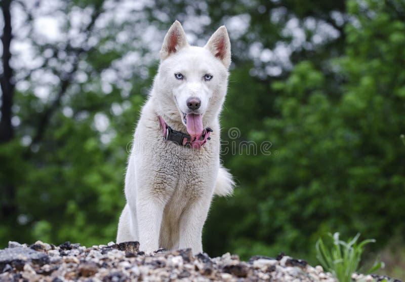 Chien blanc de chien de traîneau sibérien photos stock