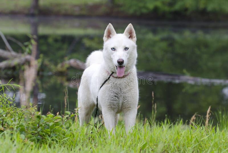 Chien blanc de chien de traîneau sibérien image libre de droits
