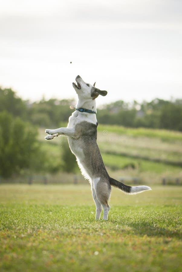 Chien blanc de race mélangée sautant haut pour attraper Dogfood images stock