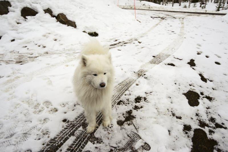 Chien blanc sur une route neigeuse, des voies de voiture et des empreintes de pas photos libres de droits