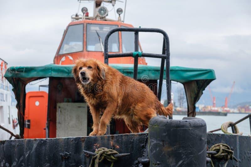 chien brun gardant le remorqueur photographie stock libre de droits