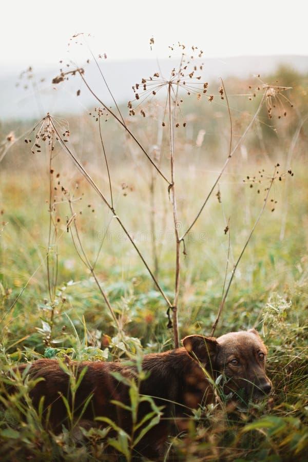 Chien brun mignon regardant avec les yeux adorables et marchant sous les wildflowers secs dans le pré ensoleillé en montagnes au  photo stock