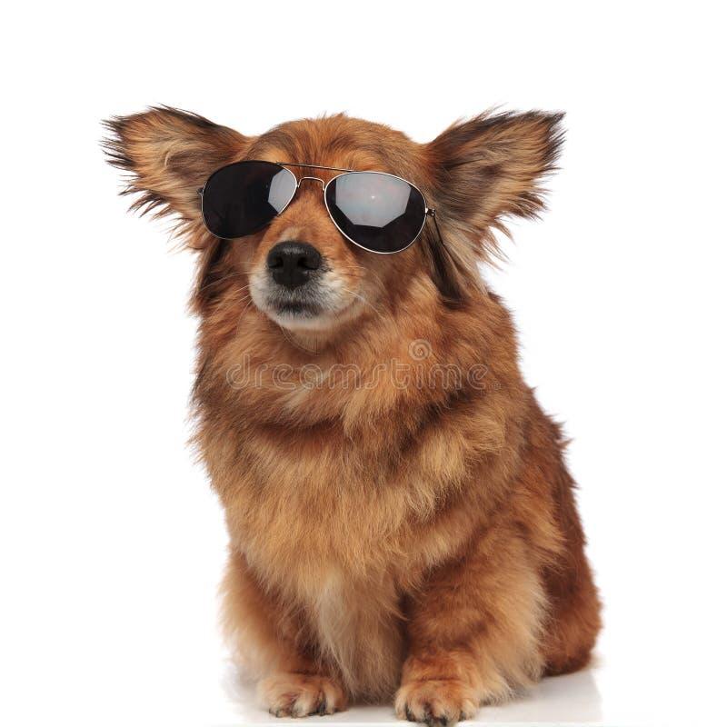 Chien brun posé adorable avec les oreilles et les lunettes de soleil drôles image libre de droits