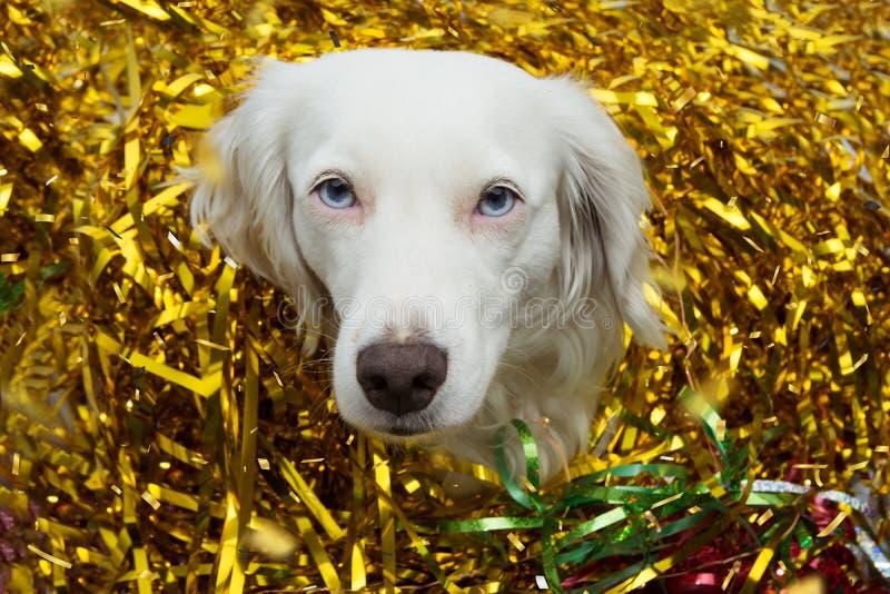 Chien célébrant la nouvelle année, le carnaval ou la fête d'anniversaire avec les streamears d'or de serpentines photographie stock libre de droits