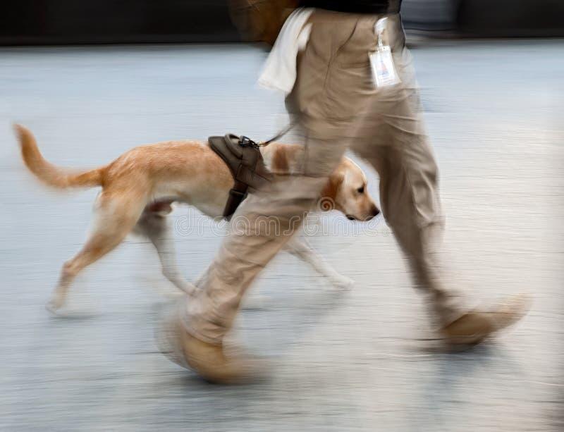 Chien canin de service sur une tache floue intentionnelle de rue de ville photos stock