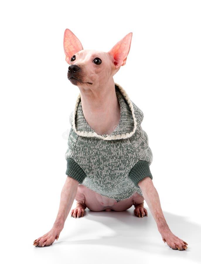 Chien chauve américain de Terrier utilisant la veste à capuchon sur le fond blanc images stock