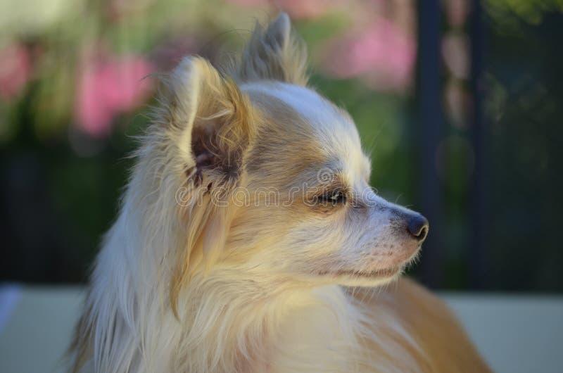 Chien, chien comme le mammif?re, race de chien, groupe de race de chien images stock