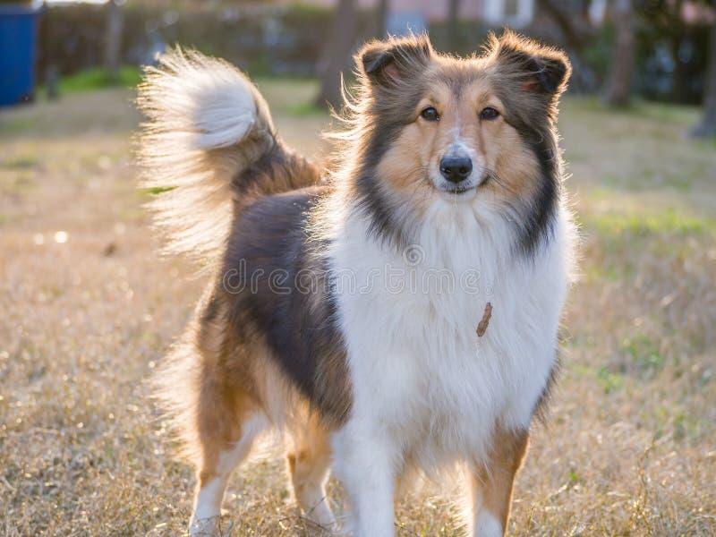 Chien, chien de berger de Shetland image libre de droits