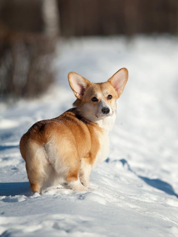 Chien corgy de Gallois en hiver photographie stock libre de droits