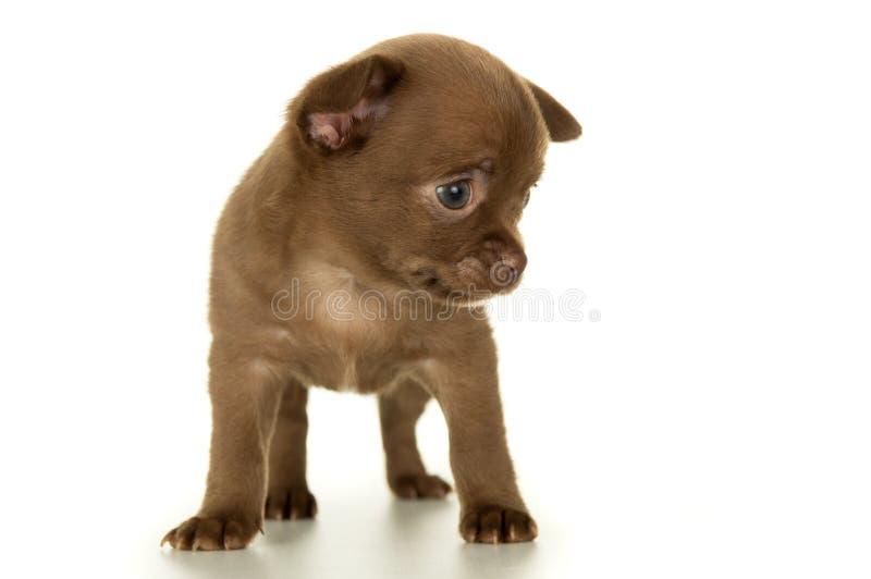 Chien, couleur brune de chiot images stock