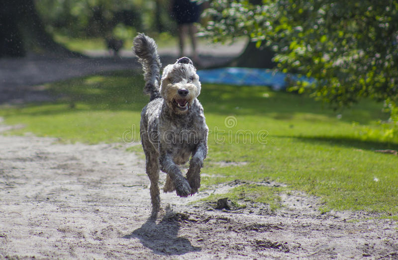 Download Chien courant photo stock. Image du running, arbres, herbe - 76089756