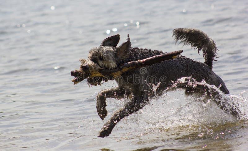 Download Chien courant image stock. Image du gris, crabot, sauvage - 76089935