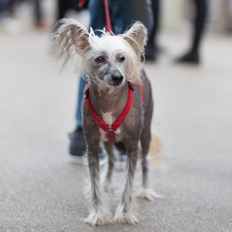 Chien crêté chinois, familiaris de lupus de Canis, sur une laisse photo libre de droits
