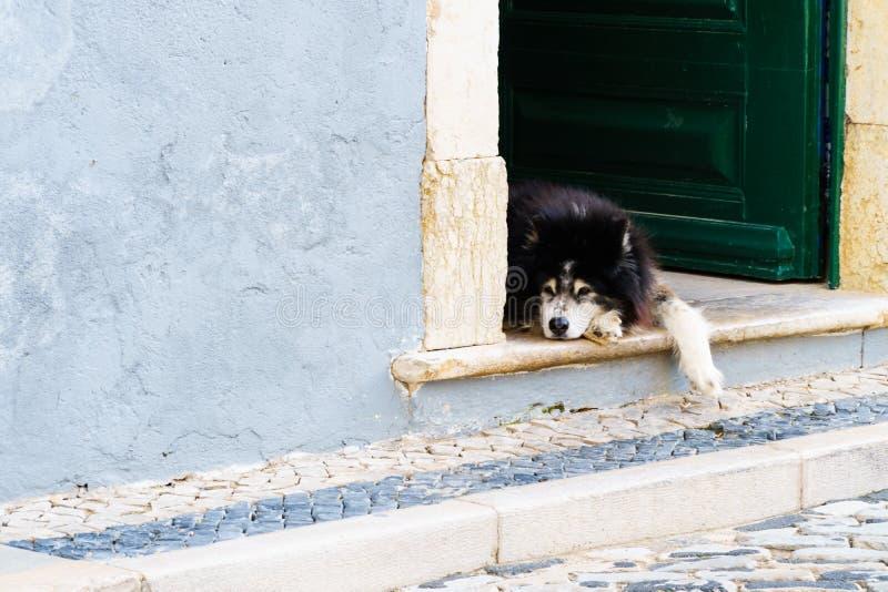Chien décontracté s'étendant à une porte ouverte pour la sièste photographie stock libre de droits