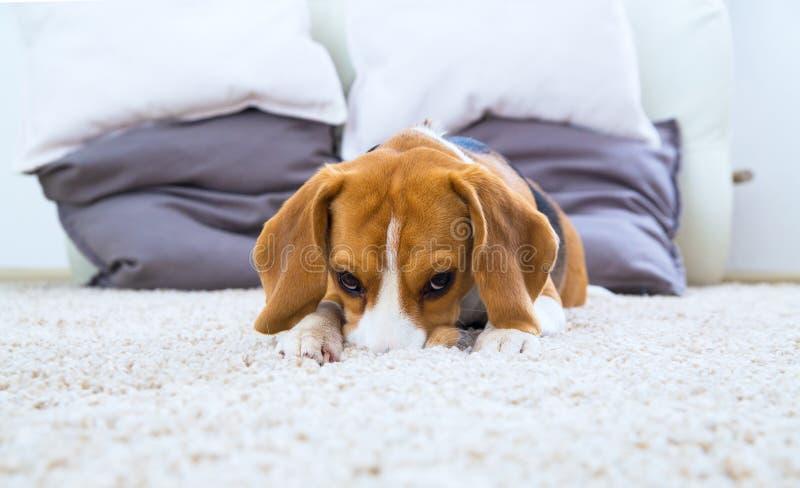 Chien détendant sur le tapis photo stock