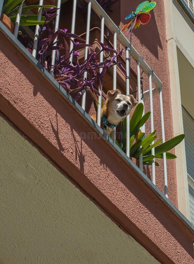Chien d'écorcement au balcon images libres de droits
