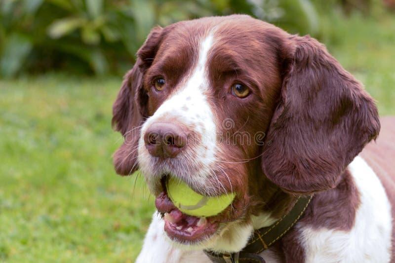 Chien d'épagneul de springer anglais avec de la balle de tennis dans la bouche photo stock
