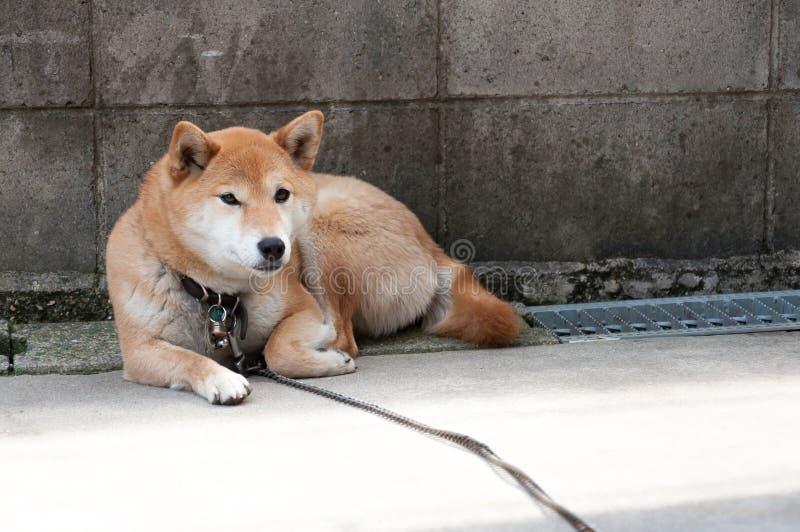 Chien d'Akita attendant au mur photos stock