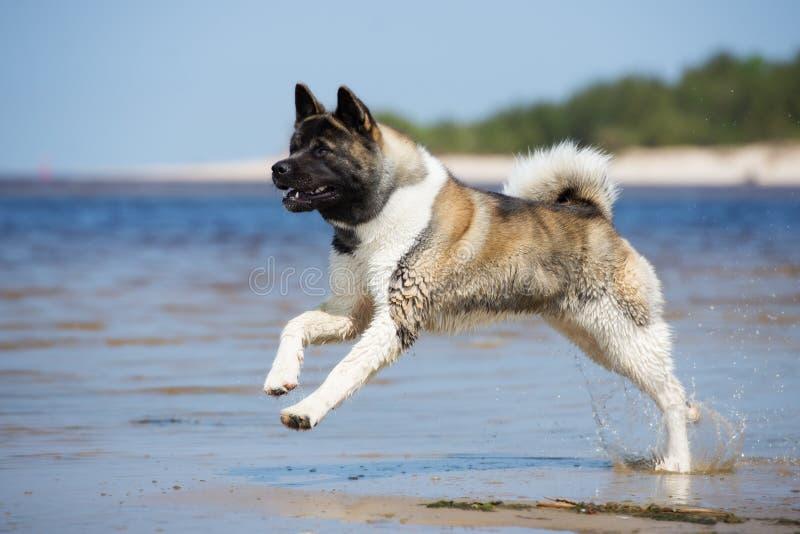 Chien d'akita d'Américain jouant sur une plage photo stock
