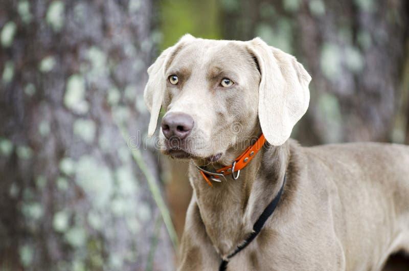 Chien d'arme à feu de Weimaraner, photo d'adoption d'animal familier, Monroe Georgia Etats-Unis photo libre de droits