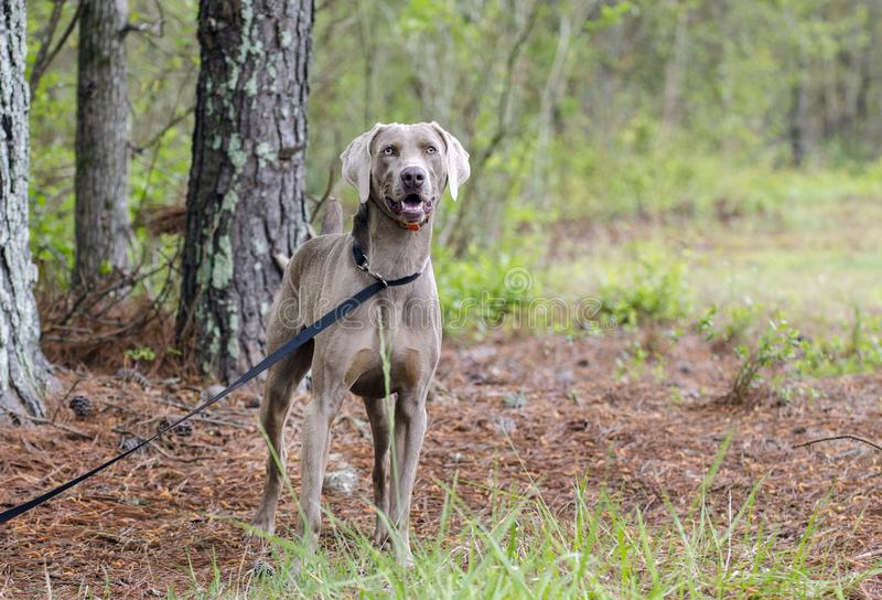 Chien d'arme à feu de Weimaraner, photo d'adoption d'animal familier, Monroe Georgia Etats-Unis image libre de droits