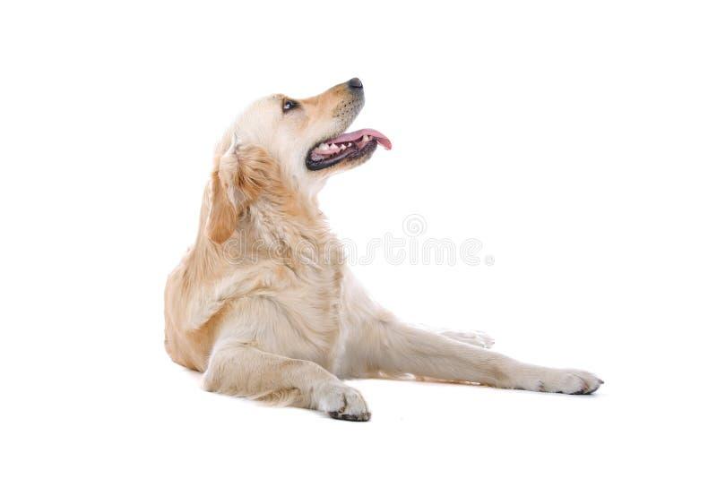 chien d'arrêt d'or photographie stock