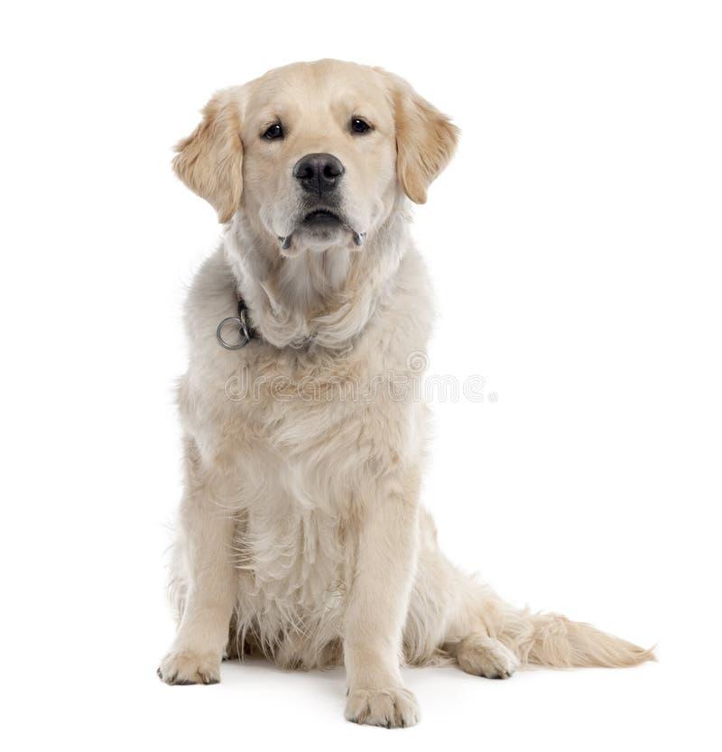 chien d'arrêt d'or de 11 mois photographie stock