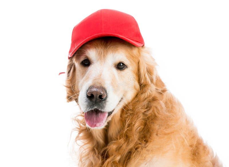 Chien d'arrêt dans le chapeau images stock