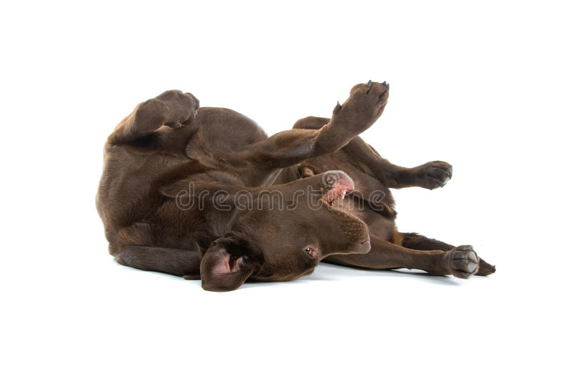 Chien d'arrêt de Brown Labrador photographie stock