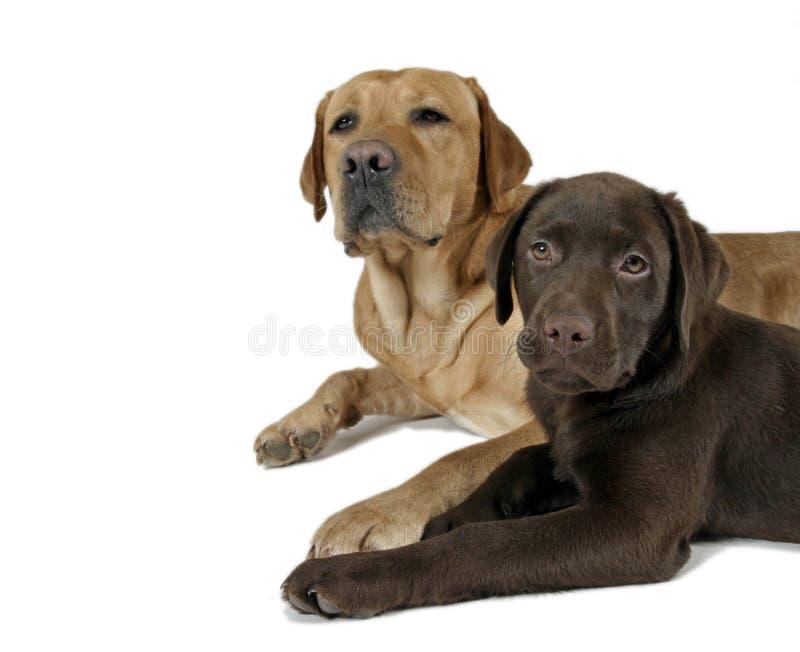Chien d'arrêt de deux labradors photographie stock libre de droits