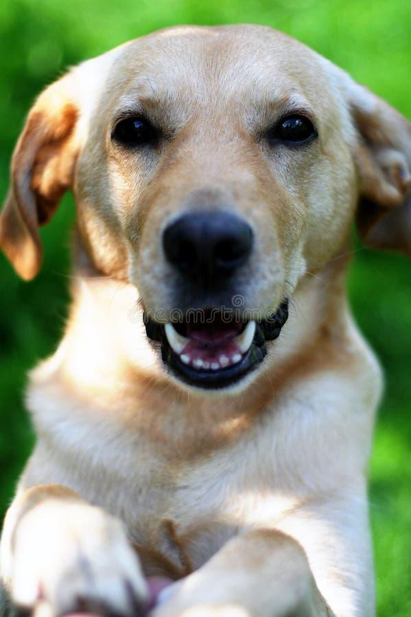 Chien d'arrêt de Labrador images stock
