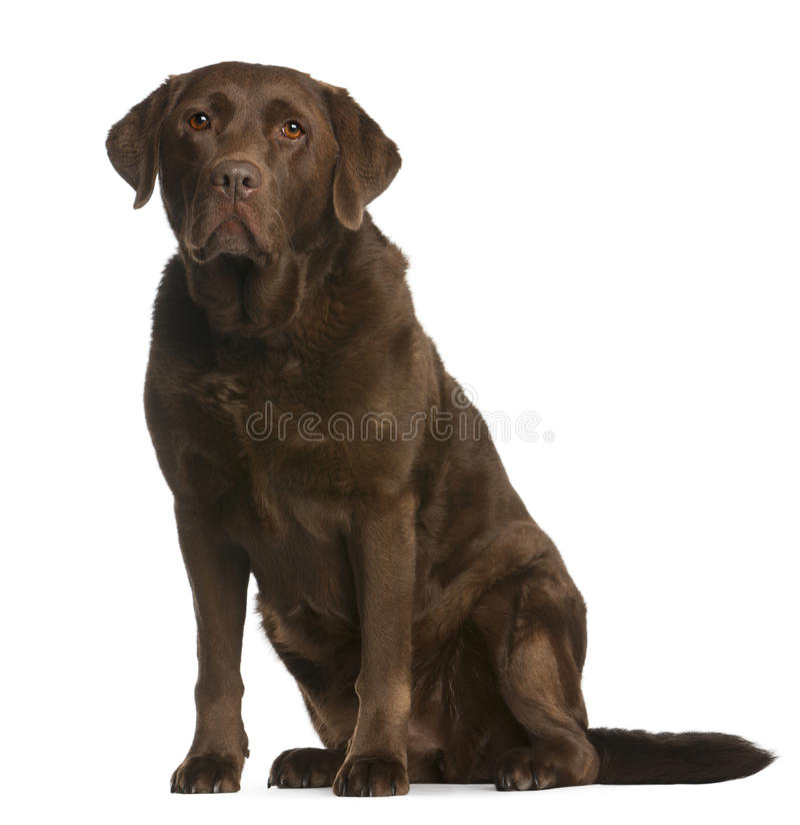 Chien d'arrêt de Labrador, 8 années, se reposant photo stock