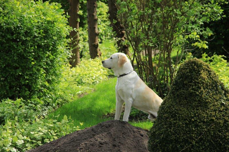 Chien d'arrêt de Labrador photos stock