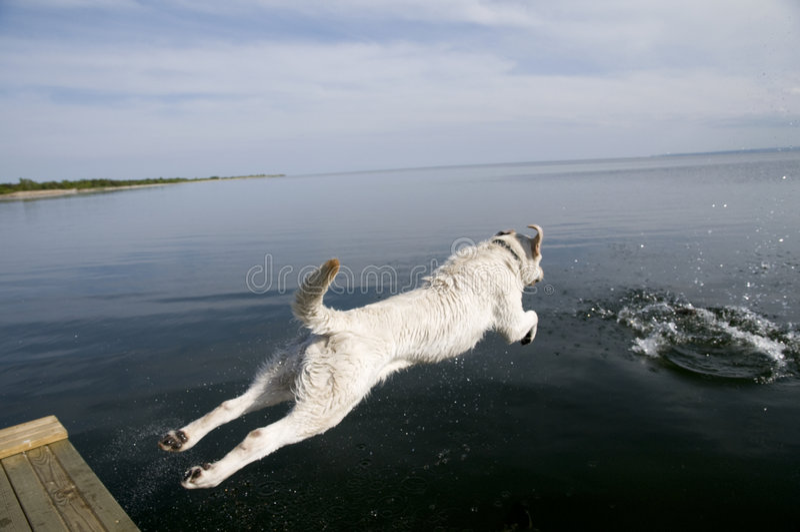 Chien d'arrêt de Labrador branchant photos stock