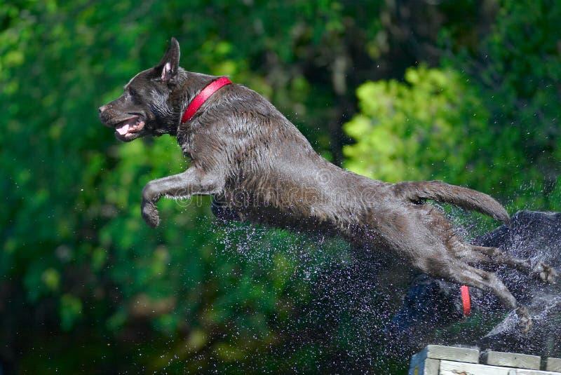 chien d'arrêt de Labrador de chocolat de 2 actions photo libre de droits