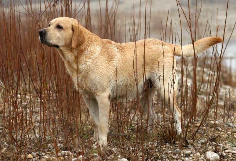 Chien d'arrêt de Labrador fonctionnant photos libres de droits