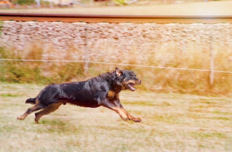 Chien d'utilité le rottweiler images libres de droits