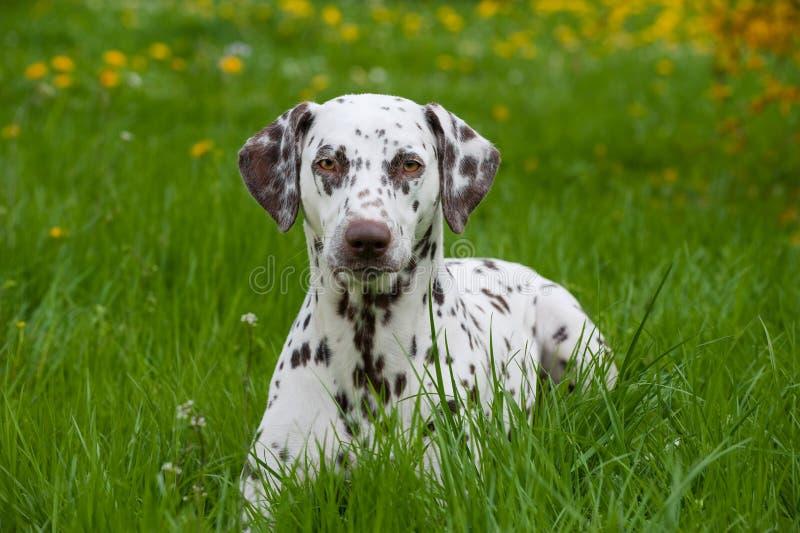 Chien dalmatien photos libres de droits