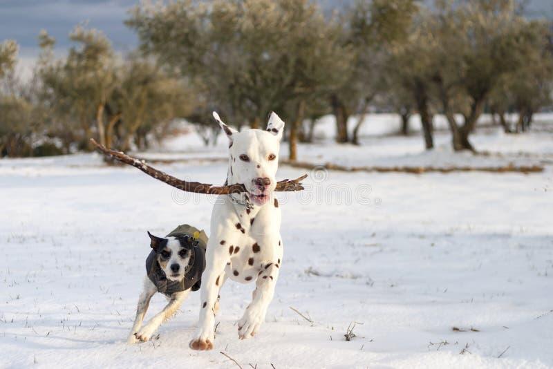 Chien dalmatien jouant avec un bâton photos stock