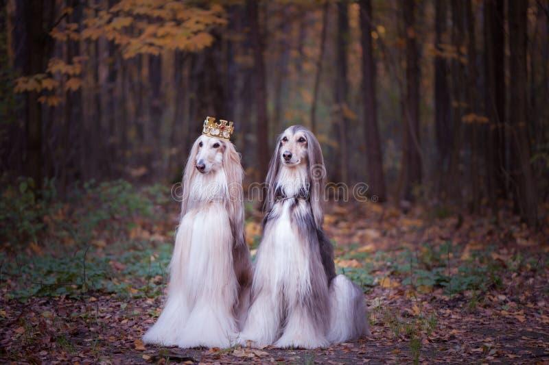 Chien dans la couronne, l?vriers afghans, dans des v?tements royaux photo stock